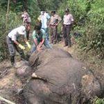 Gajah di Riau Selalu Jadi Sasaran Perburuan