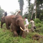 Langgam Masih Jadi Sasaran Amukan Gajah