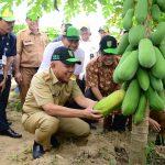 Gubri memanen buah pepaya di Pusat Agribisnis Universitas Islam Riau