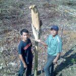 Bunga Bangkai Tumbuh di Areal HTI Riaupulp Estate Logas