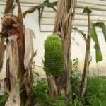 Pisang Aneh Berbuah di Batang