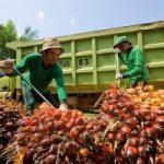Harga TBS Sawit Riau Periode 21-27 Oktober Turun